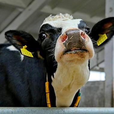 Экскурсия на молочную ферму для школьников из Харькова