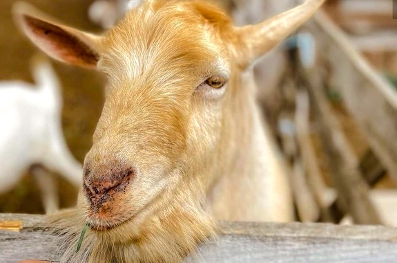 Фото экскурсия на ферму коз и овец из Киева