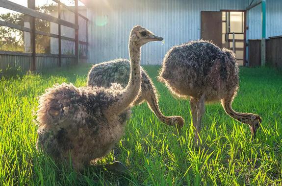 Фото экскурсия в Кривой Рог на страусиную ферму