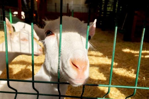 Картинка экскурсия на ферму Святогорская коза