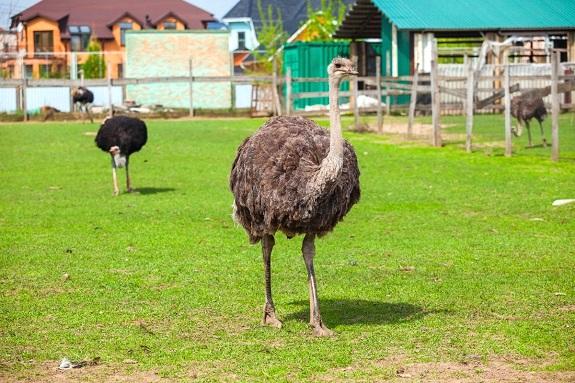 Картинка экскурсия на страусиную ферму