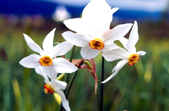 Картинка цветение нарциссов на Закарпатье